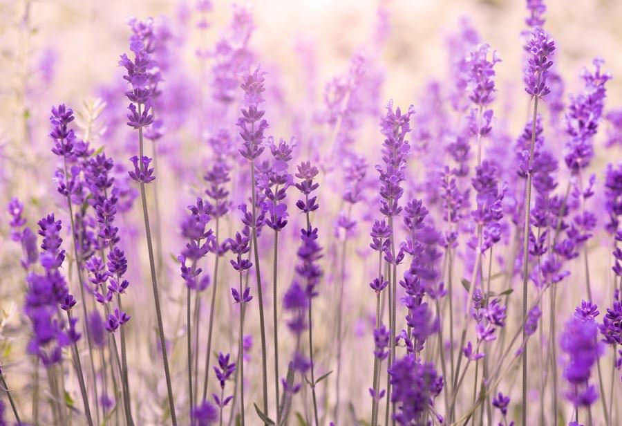 amazing-lavender-flower-field
